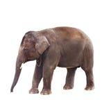 Indische Olifant Royalty-vrije Stock Afbeelding