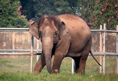 Indische olifant Stock Foto's