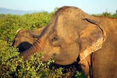 Indische olifant in wildernis Royalty-vrije Stock Afbeelding