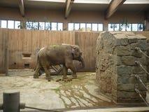 Indische olifant - zoölogische tuin op Ostrava in de Tsjechische Republiek Royalty-vrije Stock Foto's