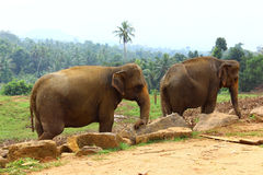 Indische Olifanten Royalty-vrije Stock Foto's