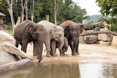 Indische olifantenfamilie in de Dierentuin van Praag Royalty-vrije Stock Afbeeldingen