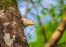 Indische Palmeekhoorn, Funambulus-palmarum, op een boomboomstam Stock Afbeelding