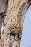 Indische palmeekhoorn op een dode boom Royalty-vrije Stock Afbeeldingen