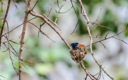 Indische Paradijsvliegenvanger royalty-vrije stock foto's