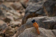 Indische paradijsvliegenvanger, paradisi de close-upzitting van Terpsiphone op de toppositie van het rotsterrein royalty-vrije stock foto's