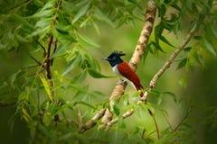 Indische paradijsvliegenvanger, Terpsiphone paradisi, in de aardhabitat, het Nationale Park van Yala, Sri Lanka Mooie vogel met l stock afbeeldingen