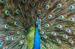 Indische Pauw royalty-vrije stock foto's