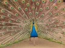 Indische Pauw die kleuren toont Stock Afbeeldingen