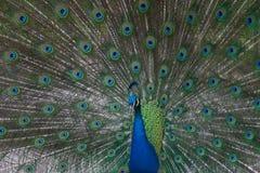 Indische pauw die zijn veren toont (Pavo cristat stock foto's