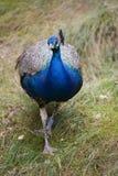 Indische Peafowl Royalty-vrije Stock Foto