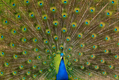 Indische Peafowl Royalty-vrije Stock Foto's