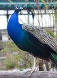 Indische Peafowl Stock Afbeelding