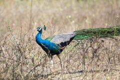 Indische peafowl of Blauwe peafowl (cristatus Pavo) Stock Fotografie