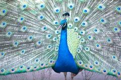 Indische peafowl of blauwe peafowl, een grote en helder gekleurde vogel Royalty-vrije Stock Foto