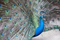 Indische peafowl of blauwe peafowl, een grote en helder gekleurde vogel Royalty-vrije Stock Fotografie