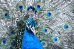 Indische peafowl of blauwe peafowl, een grote en helder gekleurde vogel Stock Afbeelding