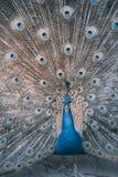 Indische peafowl of blauwe peafowl, een grote en helder gekleurde vogel Stock Foto