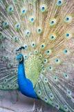 Indische peafowl of blauwe peafowl, een grote en helder gekleurde vogel Stock Afbeeldingen