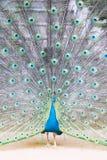Indische peafowl of blauwe peafowl, een grote en helder gekleurde vogel Royalty-vrije Stock Afbeeldingen