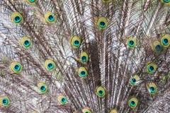 Indische peafowl/Pavo-cristatus Royalty-vrije Stock Foto