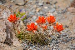 Indische Penseelbloem in de hoge woestijn van Oregon stock foto's