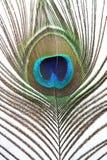 Indische Pfau-Feder Stockbilder