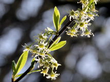 Indische Plum Flowers Stock Foto