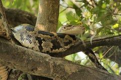 Indische Pythonschlange lizenzfreie stockfotos