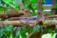 Indische Pythonschlange stockfotografie