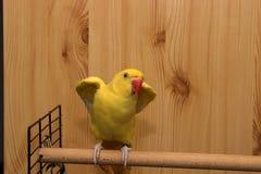 Indische Ringneck-papegaai die klaar te vliegen worden Royalty-vrije Stock Afbeeldingen