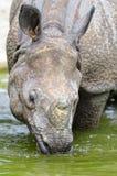 Indische Rinoceros â (unicornis van de Rinoceros) Stock Foto