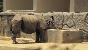 Indische rinoceros die zijn voedsel eten stock videobeelden
