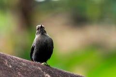 Indische Robin die omhoog kijken Stock Fotografie