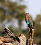 Indische rolvogel die op een dode boomboomstam neerstrijken Stock Foto