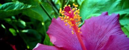Indische rosa Hibiscusblume im Garten stockfotografie