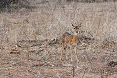 Indische Rotwild Achsenachse in Nationalpark Yala Lizenzfreie Stockbilder