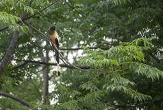 Indische Roufus Treepie royalty-vrije stock foto's