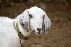 Indische schapen Royalty-vrije Stock Afbeeldingen