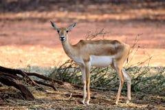 Indische schwarzer Dollar-Antilope Stockbilder