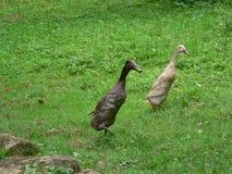 Indische Seitentriebs-Ente Stockfotografie
