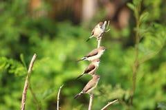 4 Indische sliverbills die op een boom zitten stock fotografie