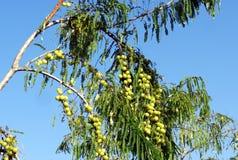 Indische Stachelbeer-ayurvedic Früchte Stockfoto