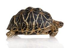 Indische Starred Schildpad - Geochelone elegans Royalty-vrije Stock Afbeeldingen