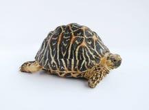 Indische Stern-Schildkröte Lizenzfreie Stockfotografie