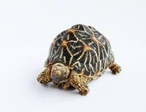 Indische Stern-Schildkröte Lizenzfreies Stockbild
