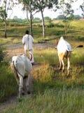 Indische Stieren Royalty-vrije Stock Afbeeldingen