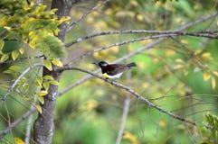 Indische sunbird Stock Afbeeldingen