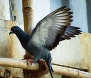 Indische Taube auf Baugerüst Stockfotografie
