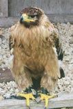 Indische Tawny Eagle Stockfotos